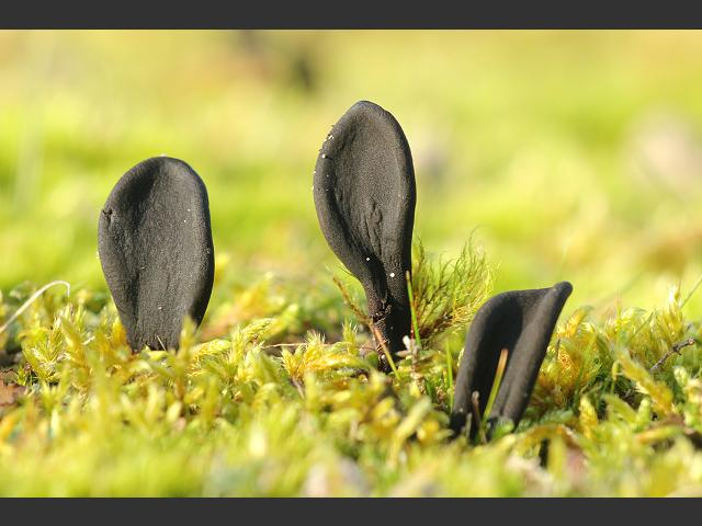 Geoglossum cookeanum Earthtongue Images