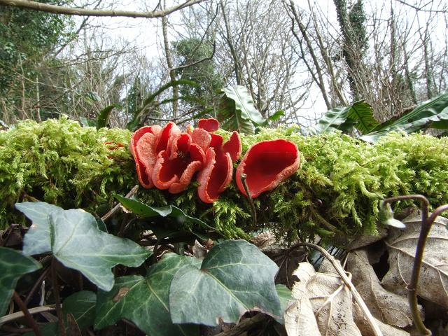 Sarcoscypha coccinea Scarlet Elfcup Images