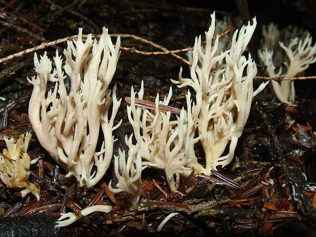 Clavulina cristata Crested Coral Fungus Cantharellale Images