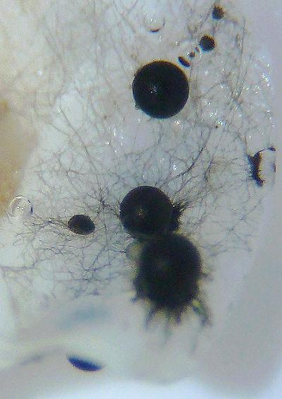 Marine fungi fungus Images UK