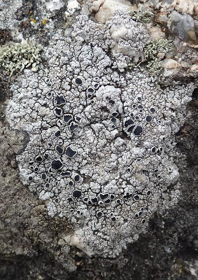 Rhizocarpon geographicum Map Lichen